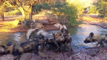 """疣猪在水里泡澡,突然野狗群""""光顾"""",这下遭殃了!"""