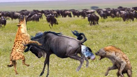鬣狗的看家本领!角马被2只鬣狗活活掏死,死不瞑目!