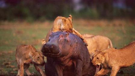 狮群围捕落单河马,不料河马突然发力,看河马如何殊死一搏!