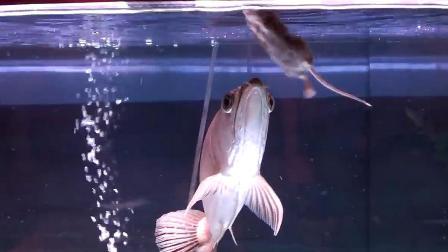 男子将老鼠扔进鱼缸,发生了什么?竟不敢相信自己的眼睛