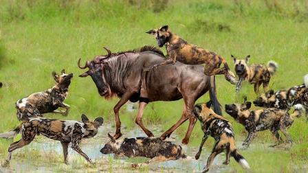 角马惨遭十几条野狗围攻,野狗群峰而上,角马痛的发出悲惨叫声