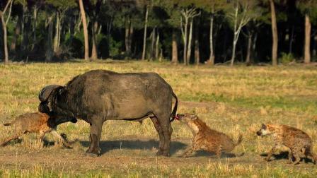 鬣狗围攻落单的野牛,直接活吃掏肛,野牛疼的嗷嗷大叫!