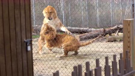 狮虎兽VS虎狮兽,两者见面就开战,谁会更胜一筹?