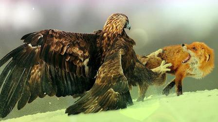 老鹰从天而降,与狐狸上演生死大战,结局你不一定能猜到