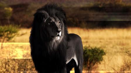 草原上罕见的黑色雄狮,走路威风凛凛,比大熊猫还稀有!
