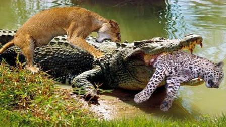 鳄鱼偷袭2头狮子,一头狮子被直接爆头!镜头记录精彩一幕!