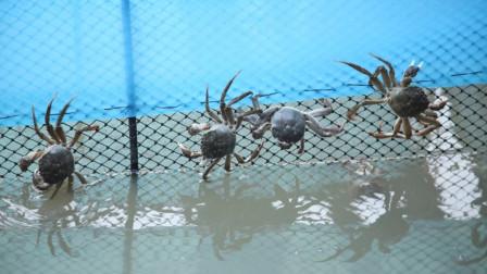 螃蟹行情遇冷,一斤降价15元仍不好卖,明年还能大规模养殖吗?