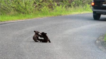 两只小棕熊在马路中间打架,为何没人前阻止?只因旁边守着的它!