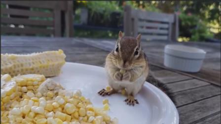 抱着根比自己还大的玉米棒,小花栗鼠成功地,从桌上摔了下去