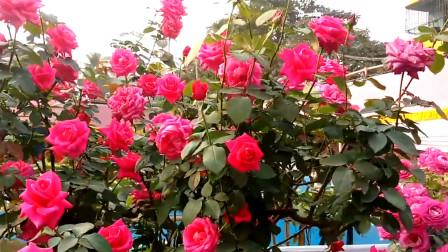 以花解语:不同颜色的玫瑰代表着什么?看完知道该怎么送了吗?