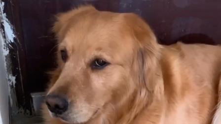 金毛一直坐在门口等泰迪回来,主人说啥它都不动,一听给它打针,怂了