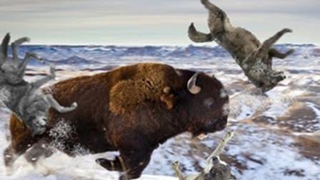 猎物的反击!野牛被追的走投无路,下一秒一角顶飞野狼!