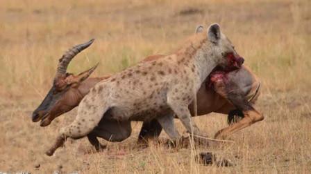 鬣狗无情撕咬大羚羊,羚羊同伴在一边冷眼旁观,镜头拍下全过程!