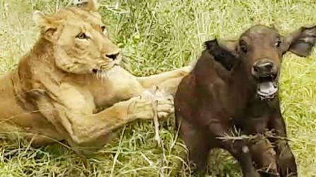 """狮子捕食野牛母子,一招""""声东击西""""让野牛绝望,镜头拍下全过程"""