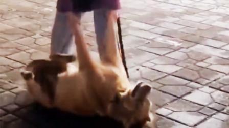 真正的赖皮狗!成都街头一金毛不买吃的赖在地上不走
