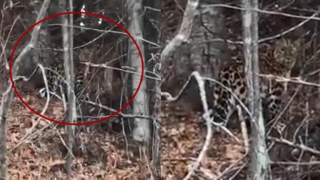吉林珲春惊现野生东北豹:大哥激动拍视频 豹子的反应亮了!