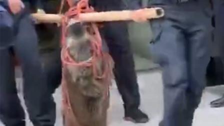 安徽滁州现野猪闹市狂奔 特警用枪电击将其五花大绑带走