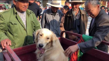 狗市一条金毛要价2000块,大爷说出金毛的很多毛病,也没人敢买了