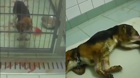 一天打13针!德国实验室被曝虐待动物:猴子锁喉,猫狗吐血