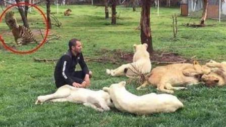 豹子意图偷袭饲养员,幸好老虎挺身而出,一巴掌拍飞豹子