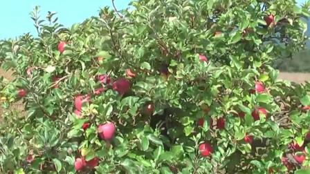 看苹果园苹果大丰收