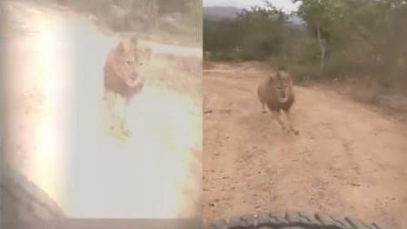 印度动物园游客历险:狮子猛追汽车 游客目睹全程