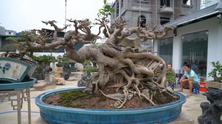 """把树桩种在盆里,满院子的盆景作品,造型""""千姿百态"""",值钱吗?"""