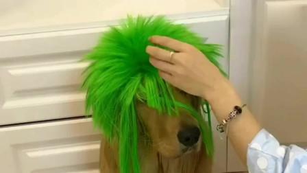 妈妈给网红金毛轮胎戴了一个绿色的头套,太可爱了,萌萌哒!