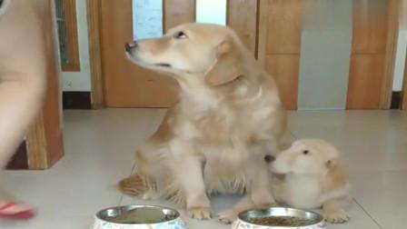 萌宠:金毛趁主人睡觉把家里仅剩的一块肉给了孩子吃,这就是母爱的力量