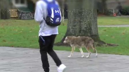 野生郊狼进入大学校园,学生们竟丝毫不怕,狼:当我是假的?