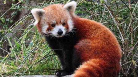 """家门口有""""小可爱"""", 原来是只小熊猫"""