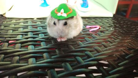 主人用黏土给小仓鼠做了帽子,戴上后太可爱了