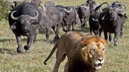 狮子偷袭小野牛,不料却遭到野牛疯狂追杀,狮子被折磨致死!