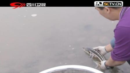 鱼痴父子繁殖中华鲟后放生长江,每条鱼都带上标签,有啥特殊含义