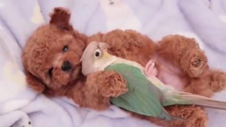 鹦鹉把泰迪当成自己的孩子,两个月后画风突变,变成了座驾!
