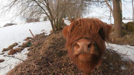 """苏格兰的高地牛,为了抵御严寒,它们长出了刘海儿,真是""""非主牛""""!"""