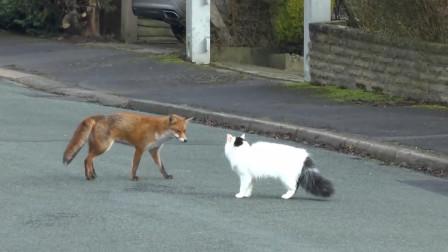 狐狸捕食猫咪,反被猫咪一路狂追:不发威你当我是KT猫?
