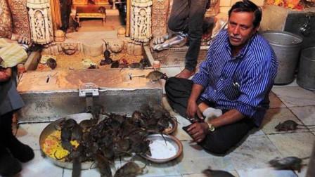 """印度老鼠庙,能看到的地方都是""""大老鼠"""",衣食无忧过的比人都好"""