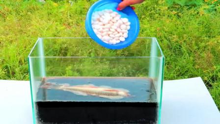 将一条鱼,放进加入曼妥思的可乐中,场面一度失控