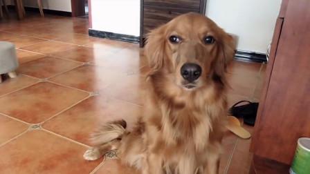 教狗狗害羞,不按套路出牌啊 ,狗子表示作为狗子我太难了