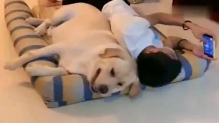铲屎官的儿子躺在拉布拉多的小床上,拉布拉多表示我真是太难了,连狗窝都被抢了