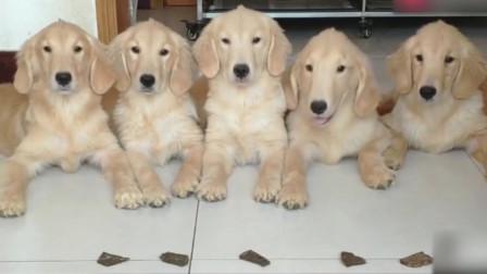 金毛爸爸和妈妈,让小狗先吃饭,然后它们吃剩下的,看的我很感动