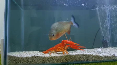 将龙虾和食人鱼放在一起,会发生什么反应?老外亲测!