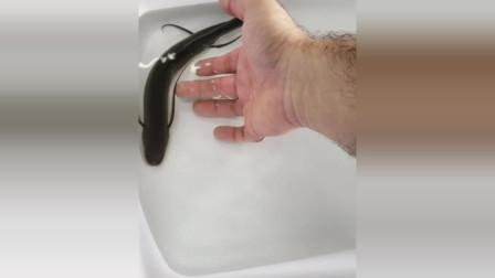 龍魚龍泥鰍歪果仁抓到一條類似龍的魚外形酷似泥鰍只是長了四條長觸角