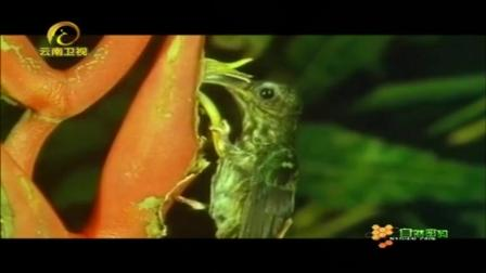 曼陀罗花有个好搭档,它是蜂鸟中的一种,据说嘴比身体还长!
