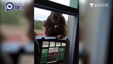猴子下山啦!一只野猴来村子找果子吃,村民乐坏了:给你个苹果吃