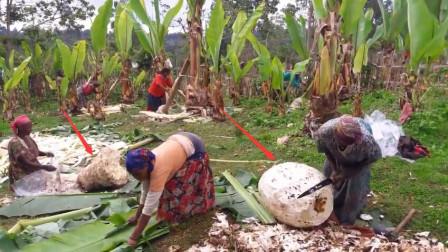 """非洲的这种""""香蕉树"""",从来不结果实,却养活了上千万人"""