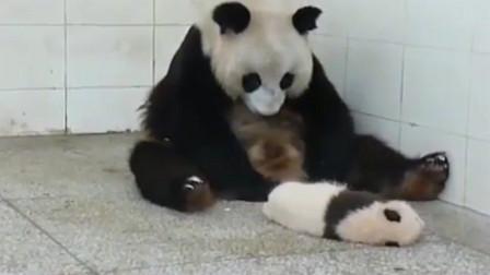 大熊猫:带娃真是太难受了!怀疑熊生