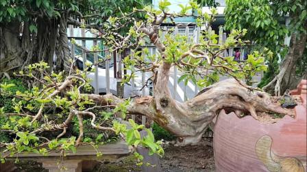 将树桩种在盆里,佩服盆景制作大师的技术,满院子都是精品,羡慕