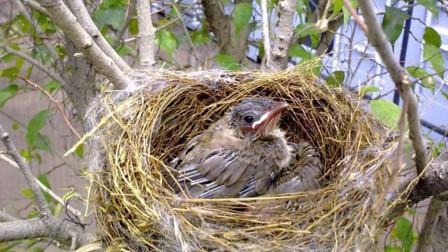 鸟窝都是露天的,遇到下雨天怎么办?看完才知道鸟类有多聪明